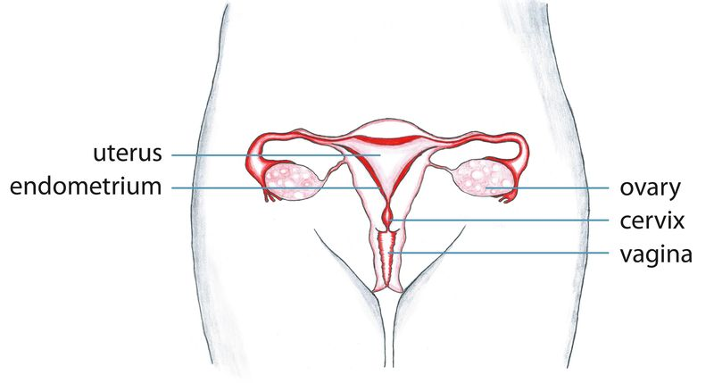 common cancers of the reproductive system A woman's reproductive system is a delicate and complex system in the body  common reproductive health concerns for women  a woman's reproductive organs .